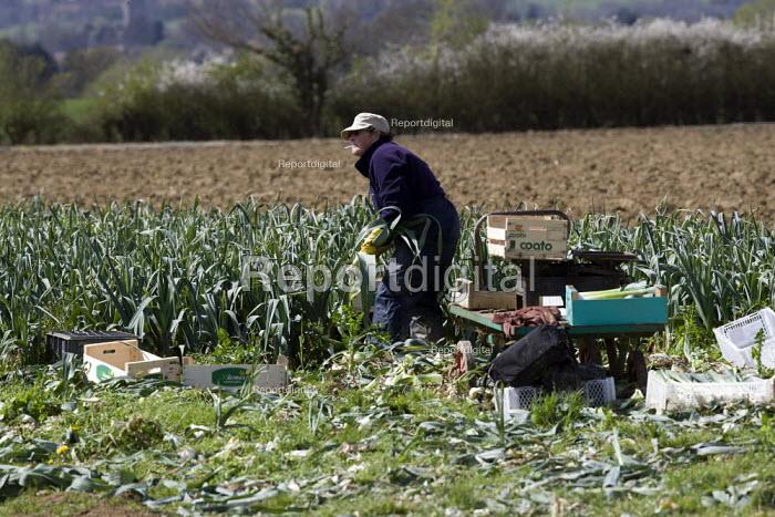 A women farmworker harvesting leaks from a field, Ebrington in the Cotswolds - John Harris - 2012-05-05