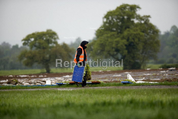 A farmworker moving trays of salad crop seedlings for planting out in a field on a farm in Warwickshire - John Harris - 2012-05-22