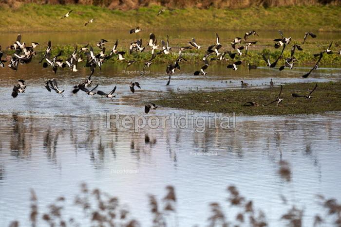 Lapwings in flight, Brandon Marsh Nature Reserve, Warwickshire Wildlife Trust, Coventry - John Harris - 2014-01-17