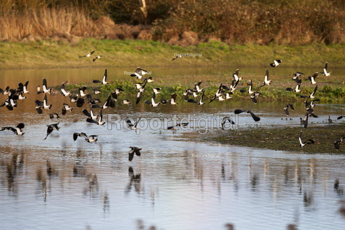 Lapwings in flight, Brandon Marsh Nature Reserve, Warwickshire Wildlife Trust, Coventry - John Harris - 2014-01-17