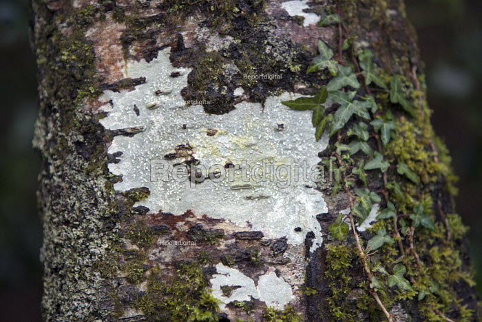 Lichens growing on a tree trunk, Dartmoor, Devon. The lichen is an organism that is formed by the symbiotic association of a fungus and an alga. - John Harris - 2014-02-27