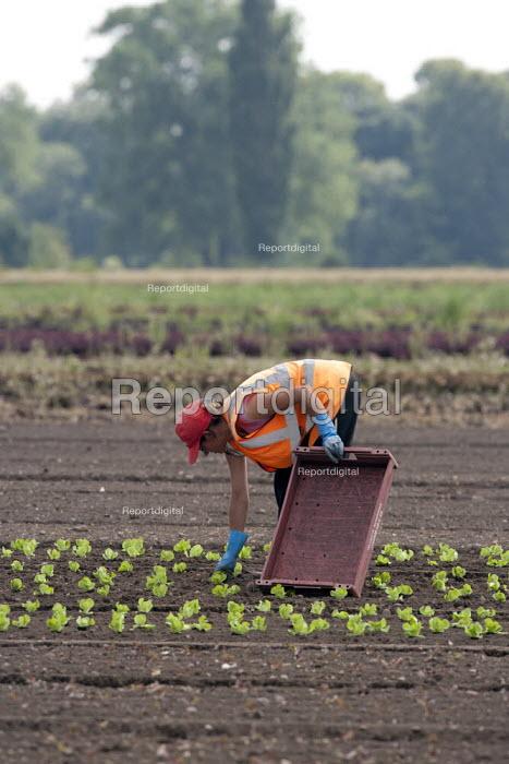 Planting lettuce on a salad crop farm, Warwickshire - John Harris - 2014-07-18