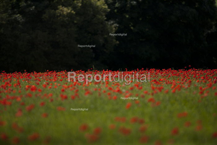 A field of poppies, Cotswolds hills, Worcestershire - John Harris - 2014-07-20