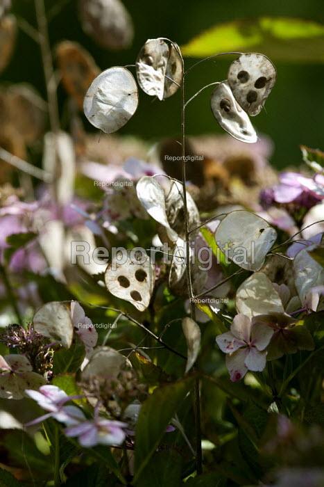 Honesty seedpods Lunaria annua alba or the money plant in a garden. - John Harris - 2014-08-31