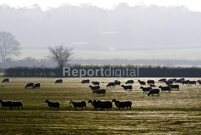 A flock of sheep, Oxfordshire - John Harris - 2014-11-29