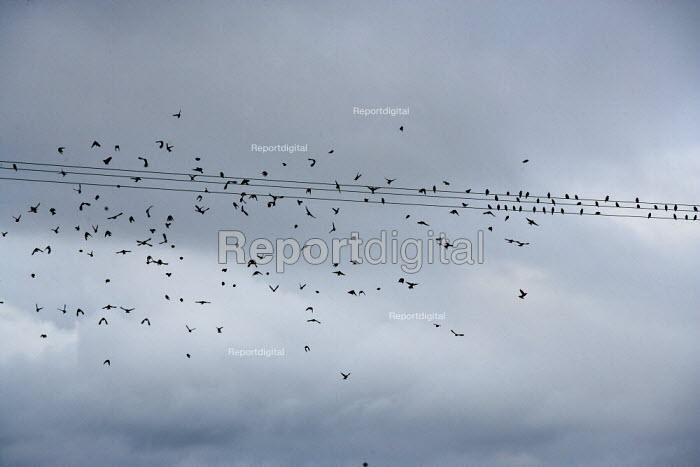 A flock of Goldfinches settling on telegraph wires, Saltmarsh, Porlock Bay, Somerset - John Harris - 2014-11-08