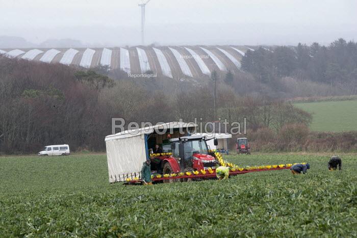 Harvesting cauliflowers in the rain, Cornwall - John Harris - 2015-03-27