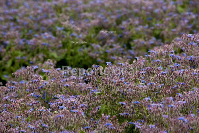 Borage growing in a field, Warwickshire. The herb is cultivated for Borage seed oil. - John Harris - 2015-06-25