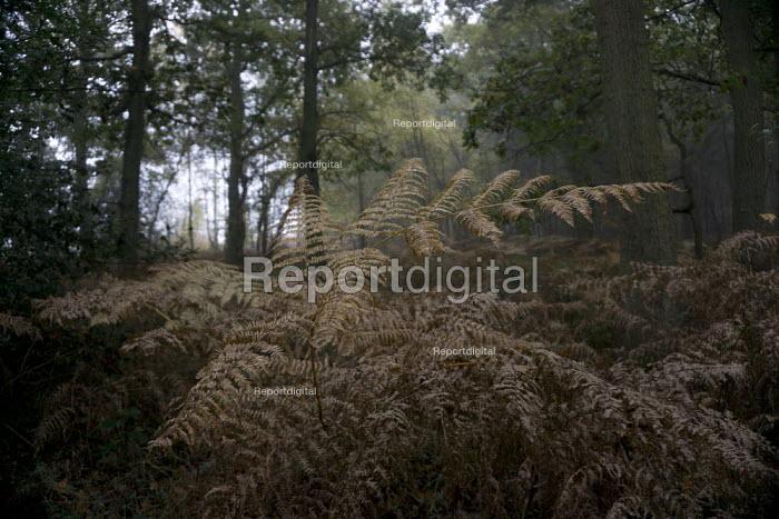 Ferns in an ancient oak wood, Hampshire - John Harris - 2015-10-01