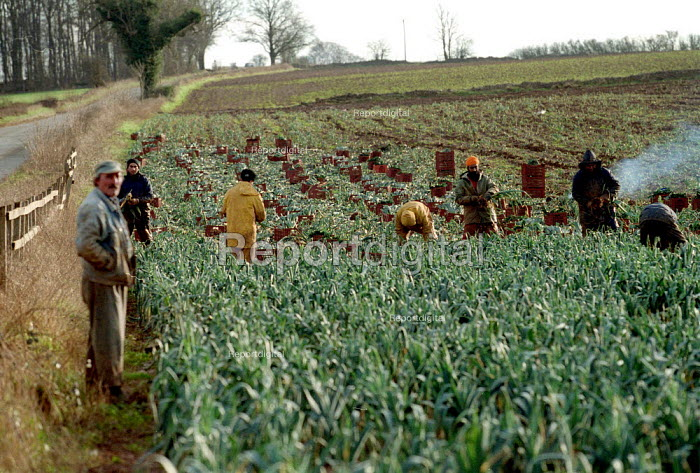Gangmaster overseeing agricultural workers pulling and cutting leaks in a field on a farm in the Cotswolds. - John Harris - 2002-02-14