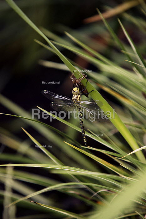 Southern Hawker Dragonfly drying its wings having just bitten its way out and emerged from a water dwelling nymph which it leaves dried out clutching a reed, garden pond Warwickshire. - John Harris - 2003-06-17