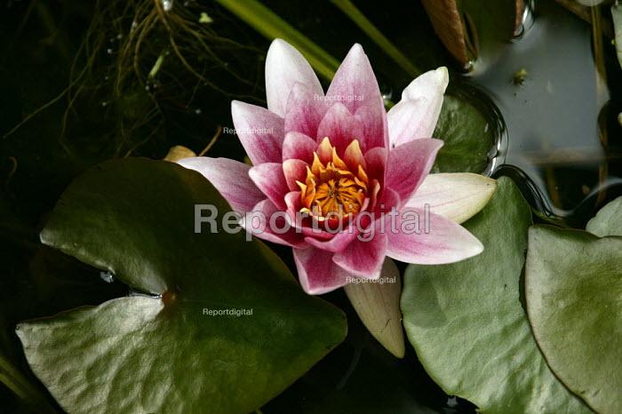 Lily flower in a garden pond - John Harris - 2003-06-17
