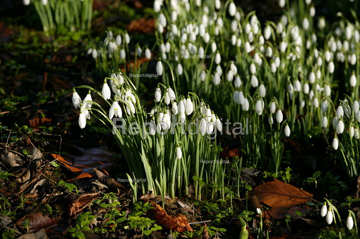 Common Snowdrops - Galanthus Nivalis growing in a wood in a nature reserve in Warwickshire. - John Harris - 2004-01-25
