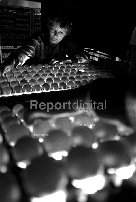 Checking egg quality on an egg packing production line