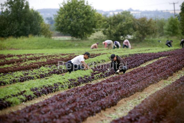 Workers picking lettuce in a field in Warwickshire - John Harris - 2011-07-27