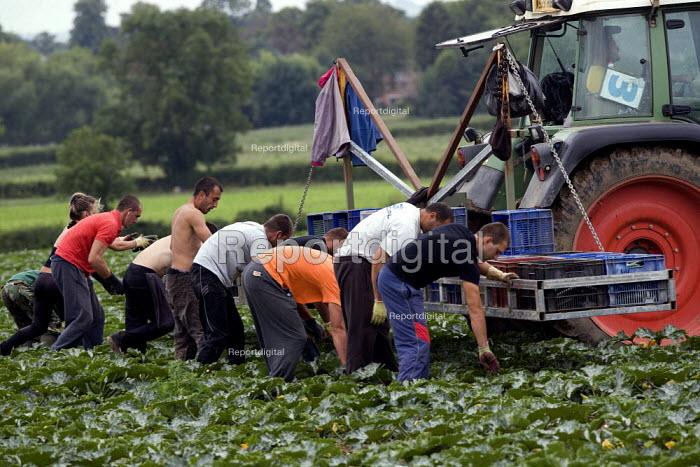 Workers picking courgettes in a field in Warwickshire - John Harris - 2011-07-29