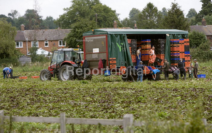 Workers picking lettuce in a field in Warwickshire behind a tractor and trailer. - John Harris - 2011-07-29