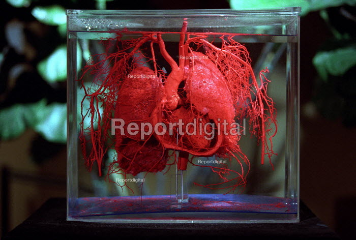 Configerations of the Arteries of the Thoracic Organs. Donated human plastinated body at the controversial Korperwelten art exhibition, Brussels, Belgium. - Jess Hurd - 2001-12-12