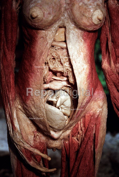 Whole body plastination of a woman in the 5th month of pregnancy. Human plastinated body at the controversial Korperwelten art exhibition, by Prof. Gunther Von Hagens MD, Brussels, Belgium. - Jess Hurd - 2001-12-12