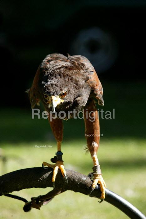 Harris Hawk. Rescued bird of prey at Euston Station. London. - Jess Hurd - 2003-08-02