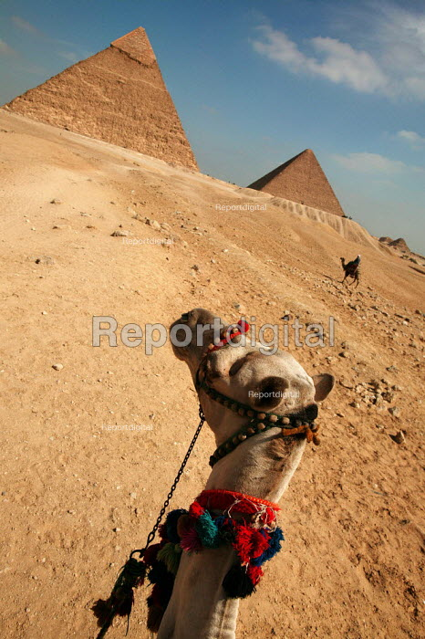 Camel (Michael Jackson) the base of the Pyramids Khafre and Khufu, Cheops 2585-2560 B.C.E., two of the three principal pyramids on the Giza Plateau. Cairo, Egypt. - Jess Hurd - 2005-03-24