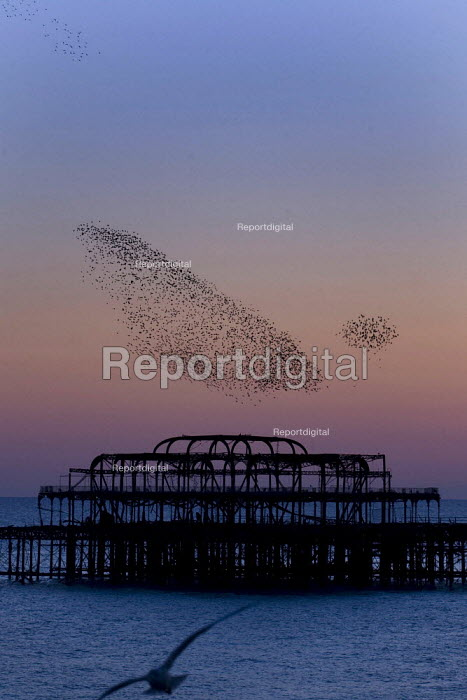 Starlings gathering at sunset to roost on Brighton's Victorian West Pier, Brighton. - Jess Hurd - 2007-10-20