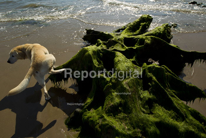 A dog urinating. Tywyn beach, where storms revealed a Bronze age petrified forest, Powys, Wales. - Jess Hurd - 2014-06-18