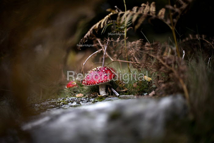 The Fly Agaric toadstool, or fairytale fungus. Dolgoch Falls. Snowdonia National Park. Wales. - Jess Hurd - 2014-10-26