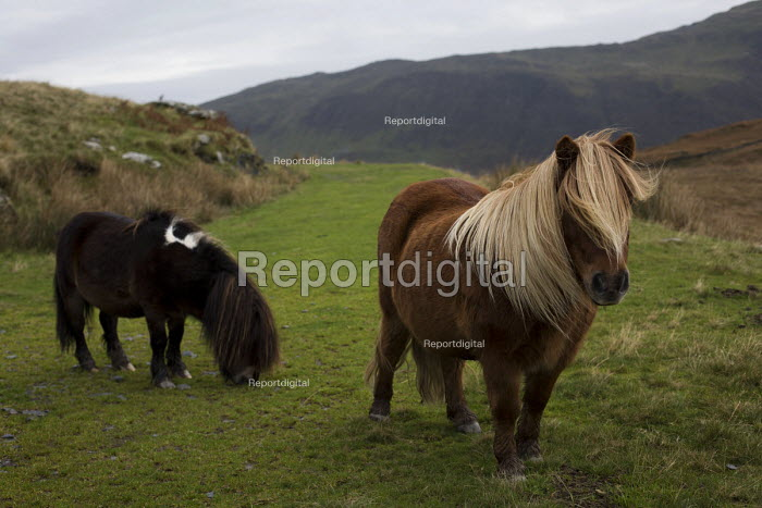 Wild ponies in the Devil's Valley or Nant yr Eira Valley. Snowdonia National Park. Wales. - Jess Hurd - 2014-10-29
