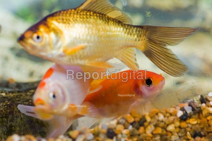 Goldfish swimming in a fishtank. - Paul Carter - 2007-07-10