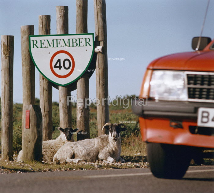 Car passes sheep lying at the roadside, underneath a traffic sign. - Paul Carter - 1994-07-09