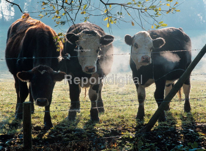 Three cows in a field, looking over a barbed wire fence. - Paul Carter - 2001-06-26