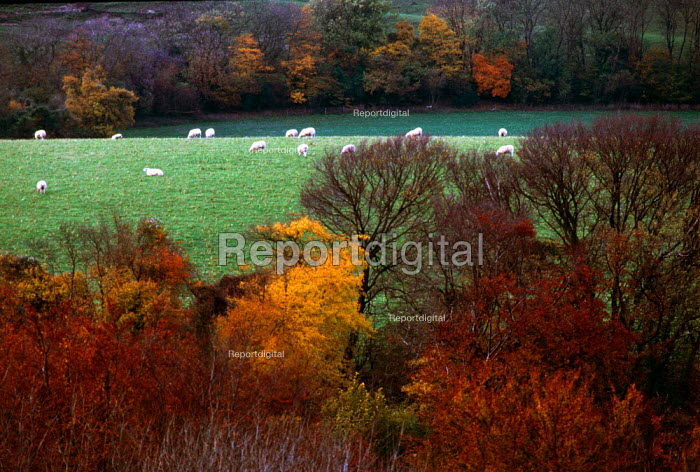 Sheep grazing on a hill with autumn leaves in the foreground. - Paul Carter - 1997-09-09
