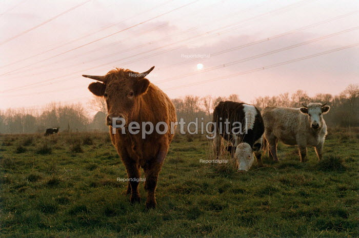 Cows grazing in the field of a nature reserve at dawn. - Paul Carter - 1993-11-18