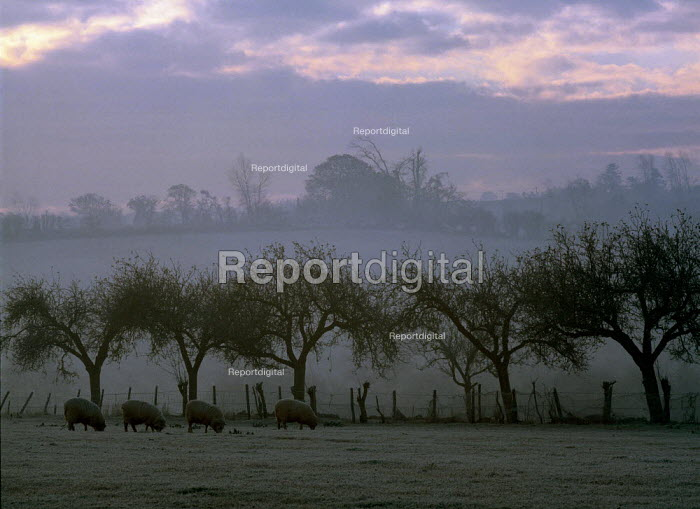 Sheep grazing on snow covered fields. Taken at dawn. - Paul Carter - 1991-12-07
