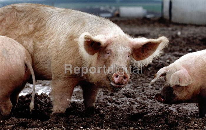 A boar on a free range pig farm. - Paul Carter - 1991-04-18