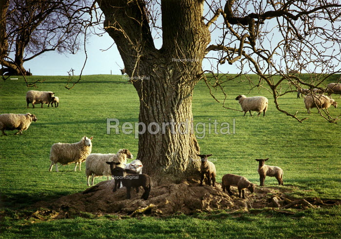 Sheep and lambs underneath an oak tree. - Paul Carter - 1997-04-24