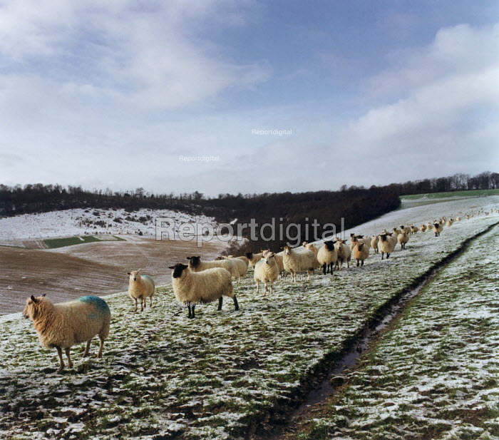 Sheep on a hillside covered with snow. - Paul Carter - 1995-02-24