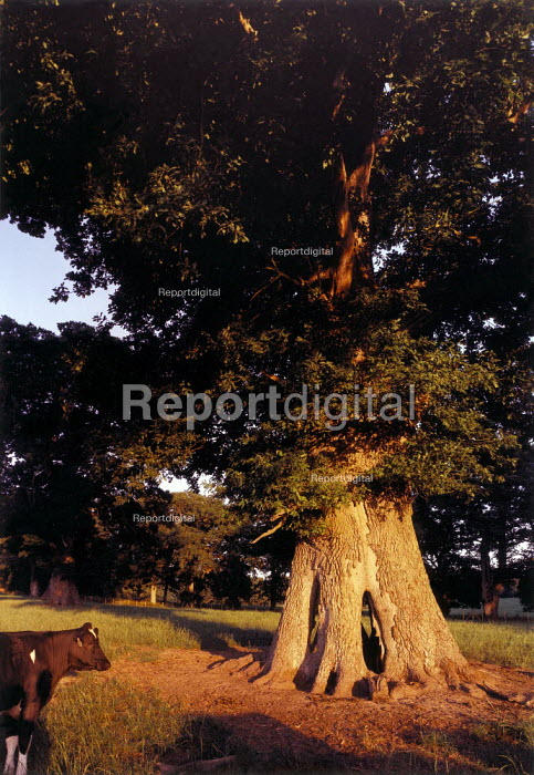 Cow underneath an oak tree which is two hundred years old. Photograph taken at dawn. - Paul Carter - 1995-07-22