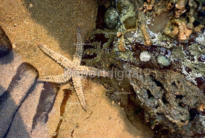 Close up of a small rock pool containg a star fish and various other marine life. Sandy Mouth, North Cornwall. - Paul Carter - 1989-05-01