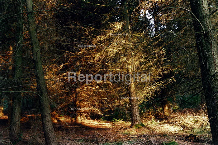 Late afternoon sunlight falling onto an area of pine trees in the New Forest. - Paul Carter - 2000-08-18