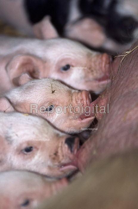 Piglets suckling. - Paul Carter - 1998-03-27