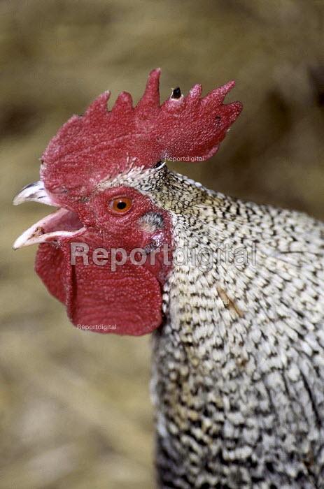Close-up of cockerel crowing. - Paul Carter - 1998-03-27