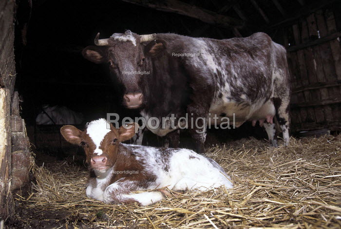 Mother cow with her calf lying at her feet in the straw. - Paul Carter - 1998-03-27