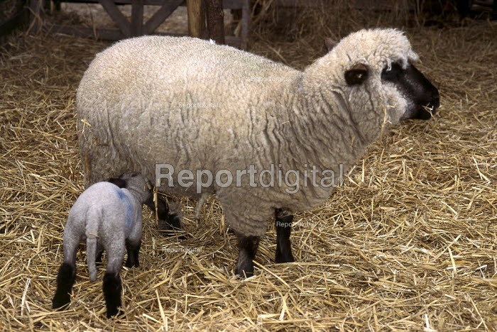 Lamb feeding from it's mother. - Paul Carter - 1998-03-27