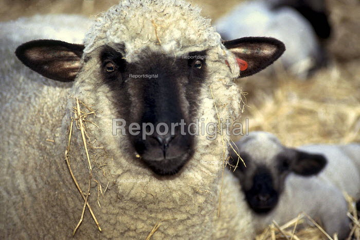 Close up of a sheep covered in straw. - Paul Carter - 1998-03-27