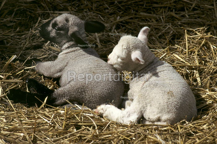 Two lambs curled up together on a straw bed. - Paul Carter - 1998-03-27