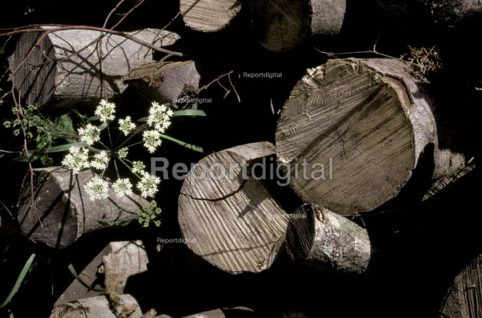 Pile of logs with cow parsley in a forest - Paul Carter - 1989-03-10
