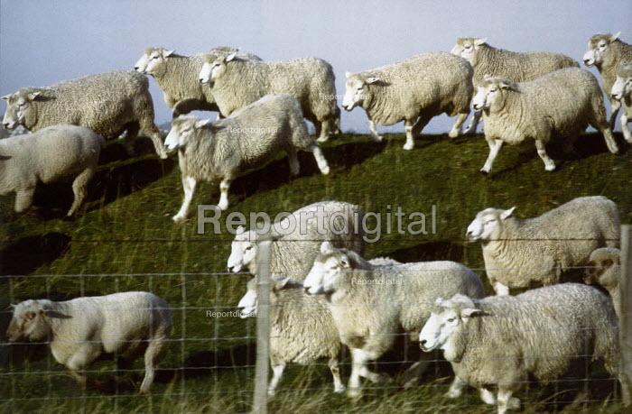 A herd of sheep running over a bank. - Paul Carter - 1998-03-27