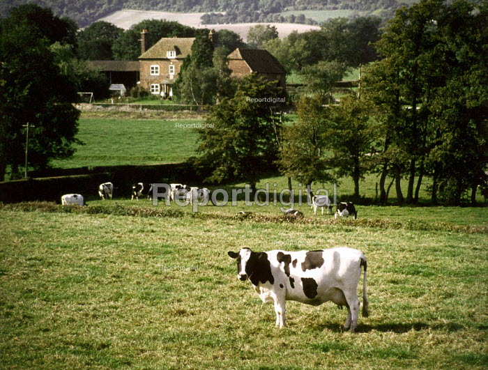 Cows grazing in a field, with farmhouse in the background. - Paul Carter - 1999-04-28
